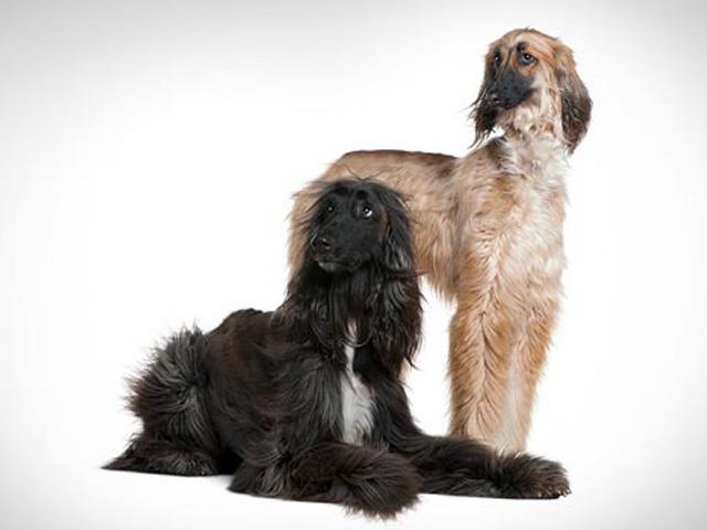نژاد سگ افغان هاند | Afghan hound