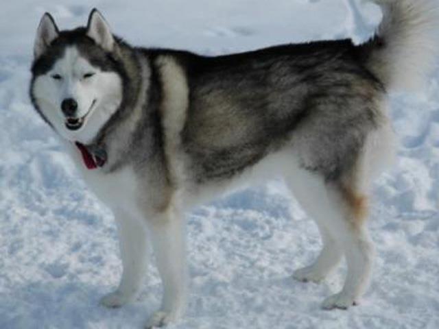 نژاد سگ هاسکی آلاسکایی | Alaskan Husky
