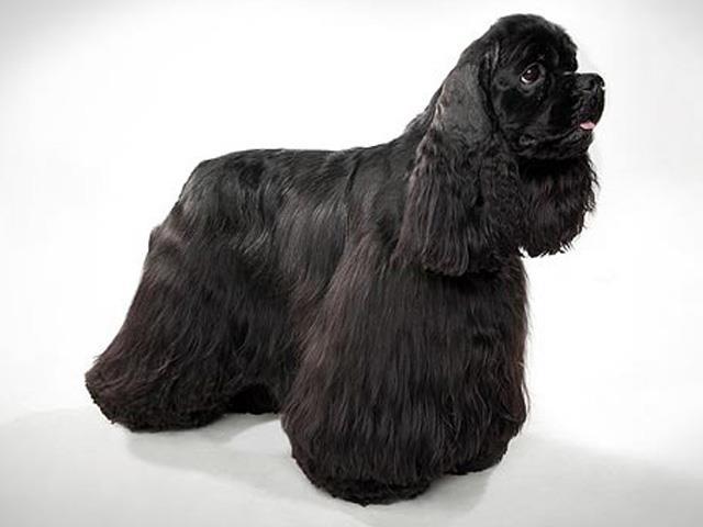 نژاد سگ آمریکن کوکر اسپانیل | American Cocker Spaniel