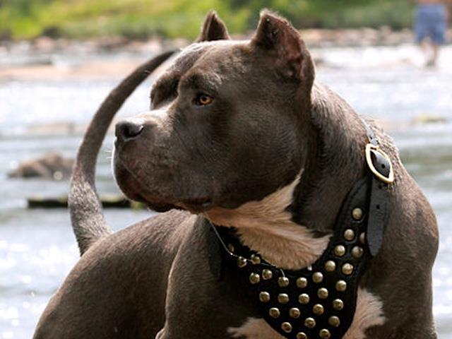سگ آمریکن پیت بول تریر | American Pit Bull Terrier