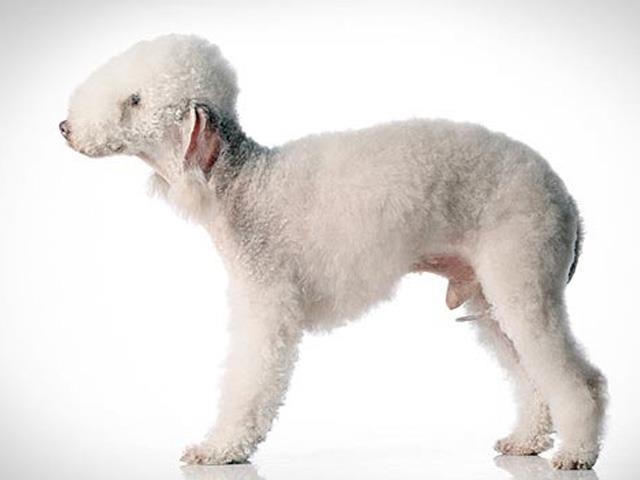 سگ بدلینگتون تریر | Bedlington Terrier