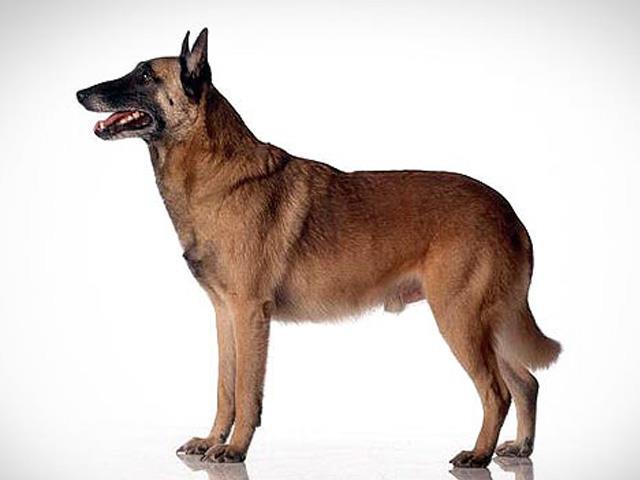 سگ بلژین مالینویز | Belgian Malinois