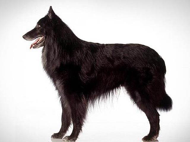 سگ بلژین شپرد | Belgian Shepherd