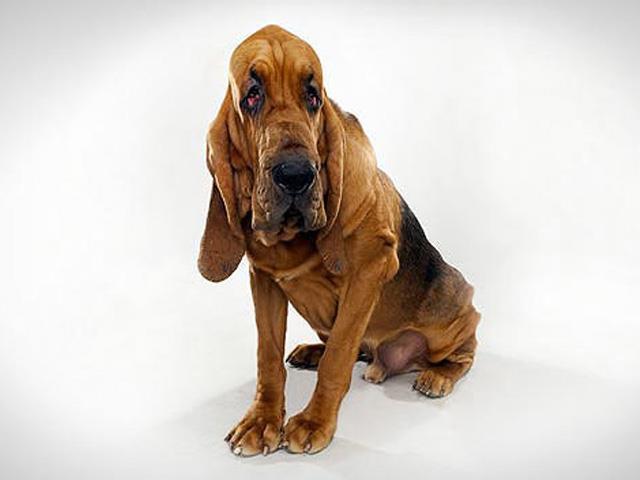 سگ بلادهاند | Bloodhound