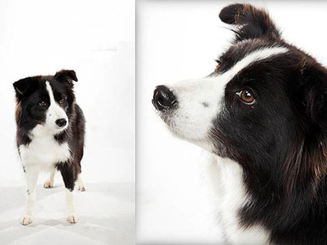 سگ بردر کولی | Border Collie