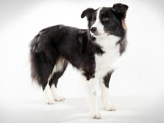 سگ بردر کولی | Border Collie