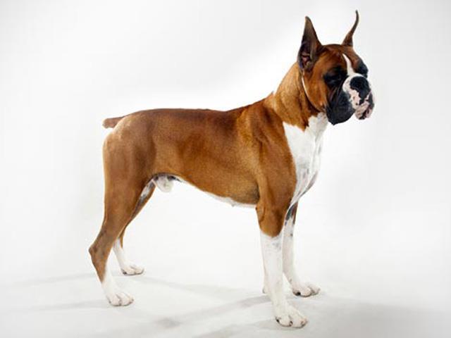 سگ باکسر | Boxer