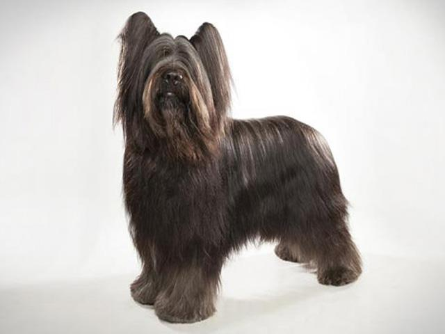 سگ بریارد | Briard