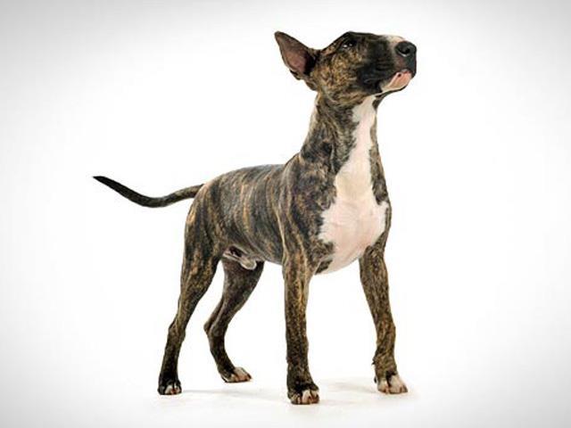 سگ بول تریر | Bull Terrier