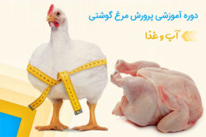 آموزش پرورش مرغ گوشتی | آب و غذا