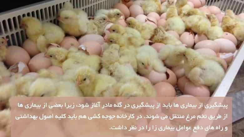 پیشگیری از بیماری های مرغ