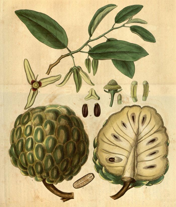 گیاه شناسی آنونا
