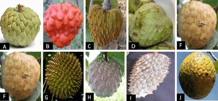 انواع گونه های میوه آنونا