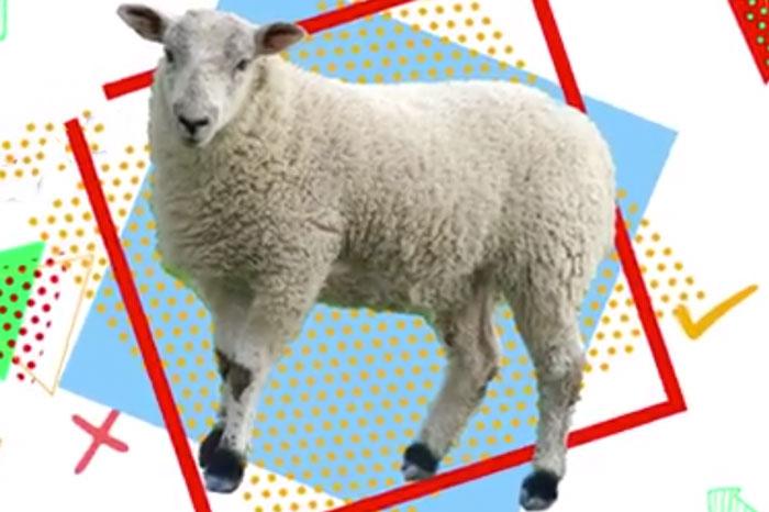 پرورش گوسفند را چطور شروع کنم؟